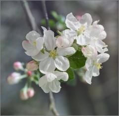 Нежный яблоневый цвет (снимок сделан 9 мая 2015 г.)