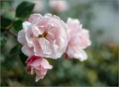 Розовая акварель ( Снимок сделан 10 октября 2013 г.)