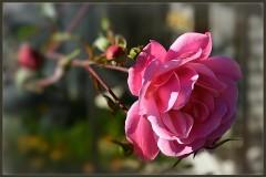 Прощальный взгляд розы ( 13 октября 2012 г.)