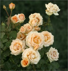Кремовые розы (снимок сделан 4 августа 2009 г.)