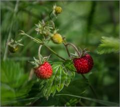 Лесная ягодка ( Снимок сделан 14 июня 2013 г.)