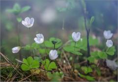 Кислица цветет ( Снимок сделан 6 мая 2012 г.)