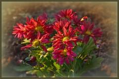 Бордовые хризантемы ( 14 октября 2012 г.)