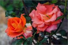 Яркие розы (снимок сделан 10 июля 2014 г.)