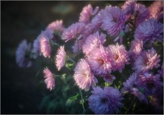 Хризантемы-цветы осени ( Снимок сделан 14 октября 2012 г.)