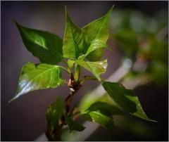 Молодая тополя листва ( Снимок сделан 7 мая 2013 г.)