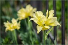 Тюльпан Йеллоу Спайдер (Yellow Spider)
