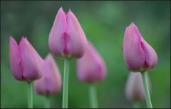 Пастельный цвет тюльпанов ( снимок сделан 13 мая 2013 г.)