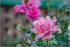 Нежный розовый цветок ( Снимок сделан 22 августа 2013 г.)