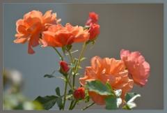 Розовая вуаль ( 15 августа 2012 г.)