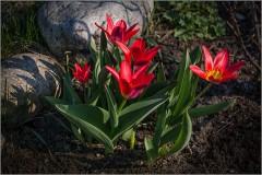 Первые тюльпаны ( Снимок сделан 20 апреля 2014 г.)