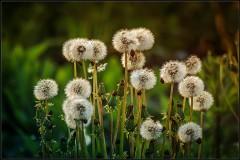 Одуванчики-цветы детства ( 26 мая 2013 г.)