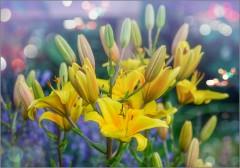 Торжество желтых лилий (снимок сделан 10 июля 2014 г.)