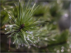 Капли дождя на кончиках хвои ( Снимок сделан 9 января 2014 г.)