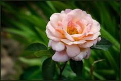 Прошлогодняя роза ( 2013 г.)