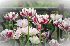 На пике цветения (снимок сделан 20 мая 2014 г.)