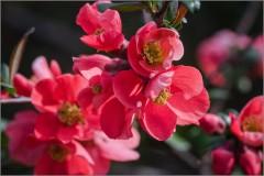 Цветение японской айвы (снимок сделан 5 мая 2015 г.)