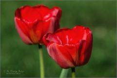 Первые тюльпаны (снимок сделан 30 апреля 2017 г.)