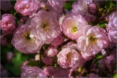 Обильные цветы сакуры (снимок сделан 10 мая 2015 г.)