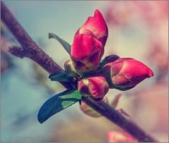 На пороге цветения (снимок сделан 5 мая 2015 г.)