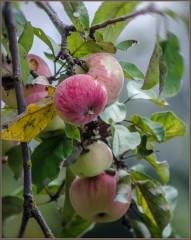 Поклеванные яблоки ( Снимок сделан 19 августа 2013 г.)