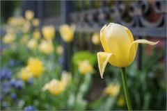 Поникший тюльпан (снимок сделан 19 мая 2017 г.)