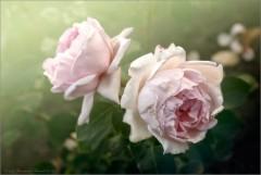 Розовое увядание (снимок сделан 10 июля 2009 г.)
