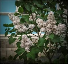 Сирени белые цветы ( Снимок сделан 28 мая 2014 г.)
