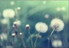 Последняя стадия цветения мать-и-мачехи (снимок сделан 6 мая 2014 г.)
