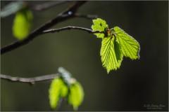 Тонкий рисунок молодых листьев орешника (снимок сделан 7 мая 2013 г.)