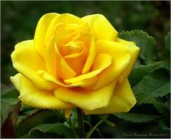 Солнечная роза (снимок сделан 27 июня 2009 г.)