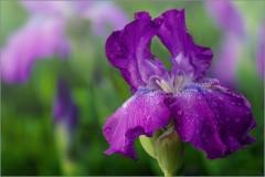 Цветок ириса ( Снимок сделан 26 мая 2013 г.)