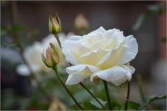 Белое благолепие ( Снимок сделан 15 сентября 2012 г.)