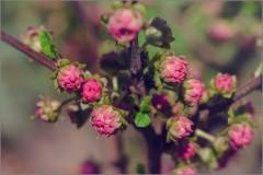 Бутоны куста сакуры (снимок сделан 5 мая 2015 г.)
