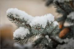 Припорошенная снегом ( Снимок сделан 5 января 2013 г.)