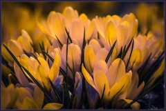 Крокусы-фонарики ( 24 апреля 2013 г.)