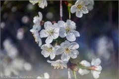 Цвет вишни (снимок сделан 6 мая 2012 г.)