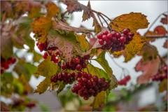 Зрелые ягоды ( Снимок сделан 19 сентября 2013 г.)