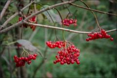 Спелые гроздья калины ( Снимок сделан 27 сентября 2013 г.)