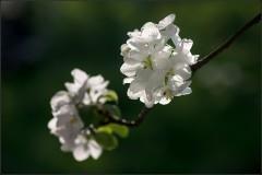 Яблоневые шапочки ( Снимок сделан 12 мая 2013 г.)