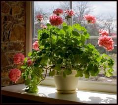 Пик цветения герани