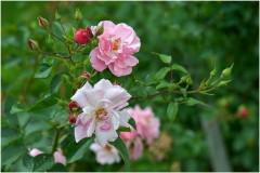 Розовая веточка ( 6 июля 2012 г.)
