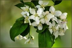 Яблоневый цвет ( Снимок сделан 12 мая 2013 г.)