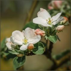 Розовый цвет яблони ( Снимок сделан 12 мая 2013 г.)