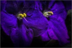 Сенполия фиолетовая ( Снимок сделан 15 мая 2014 г.)
