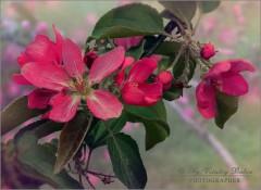 Яркий яблоневый цвет (снимок сделан 13 мая 2011 г.)