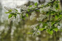 Пик цветения черемухи ( Снимок сделан 6 мая 2014 г.)