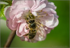 Трудовые будни одной маленькой пчёлки (снимок сделан 10 мая 2015 г.)