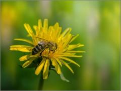 Собирая пыльцу с одуванчика (снимок сделан 24 мая 2015 г.)