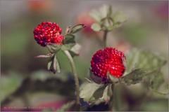 Декоративные ягоды (снимок сделан 13 июля 2015 г.)